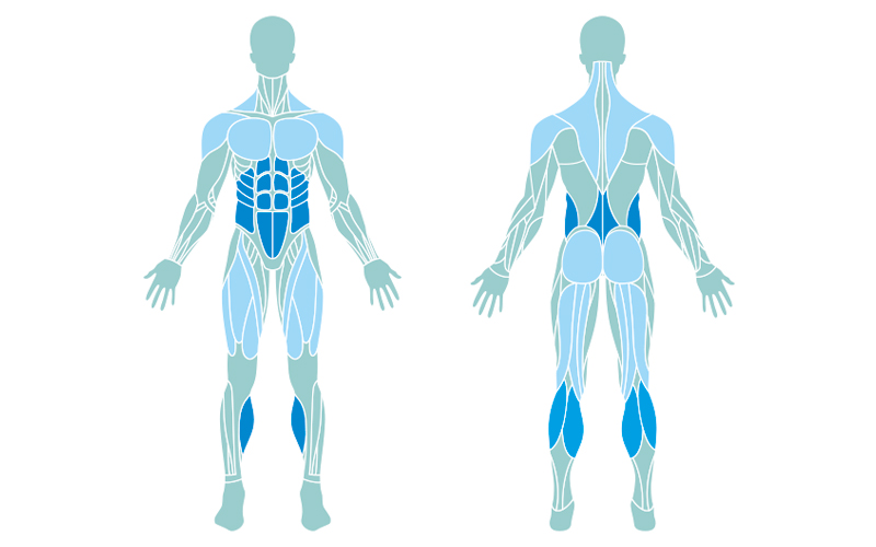 a muscle map of the muscles targeted when doing a plank