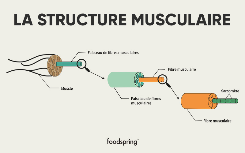 anatomie des muscles - structure musculaire