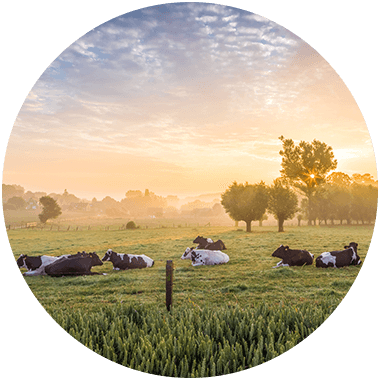 Cows lying in the meadow at sunset